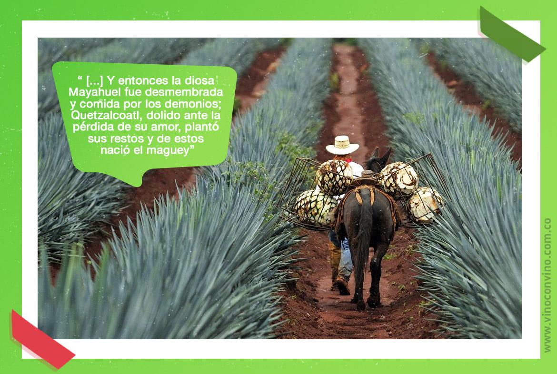 ¿Qué es el mezcal? Cultivos de agave