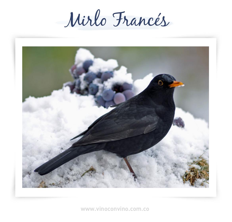 Mirlo Francés