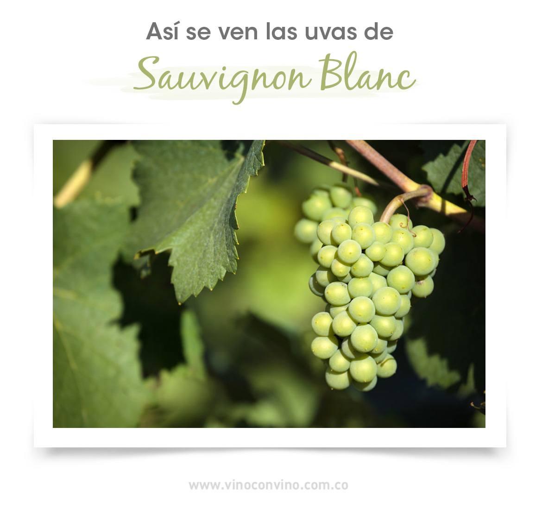 ¿Cómo son las uvas del sauvignon blanc? - Blog vinoconvino