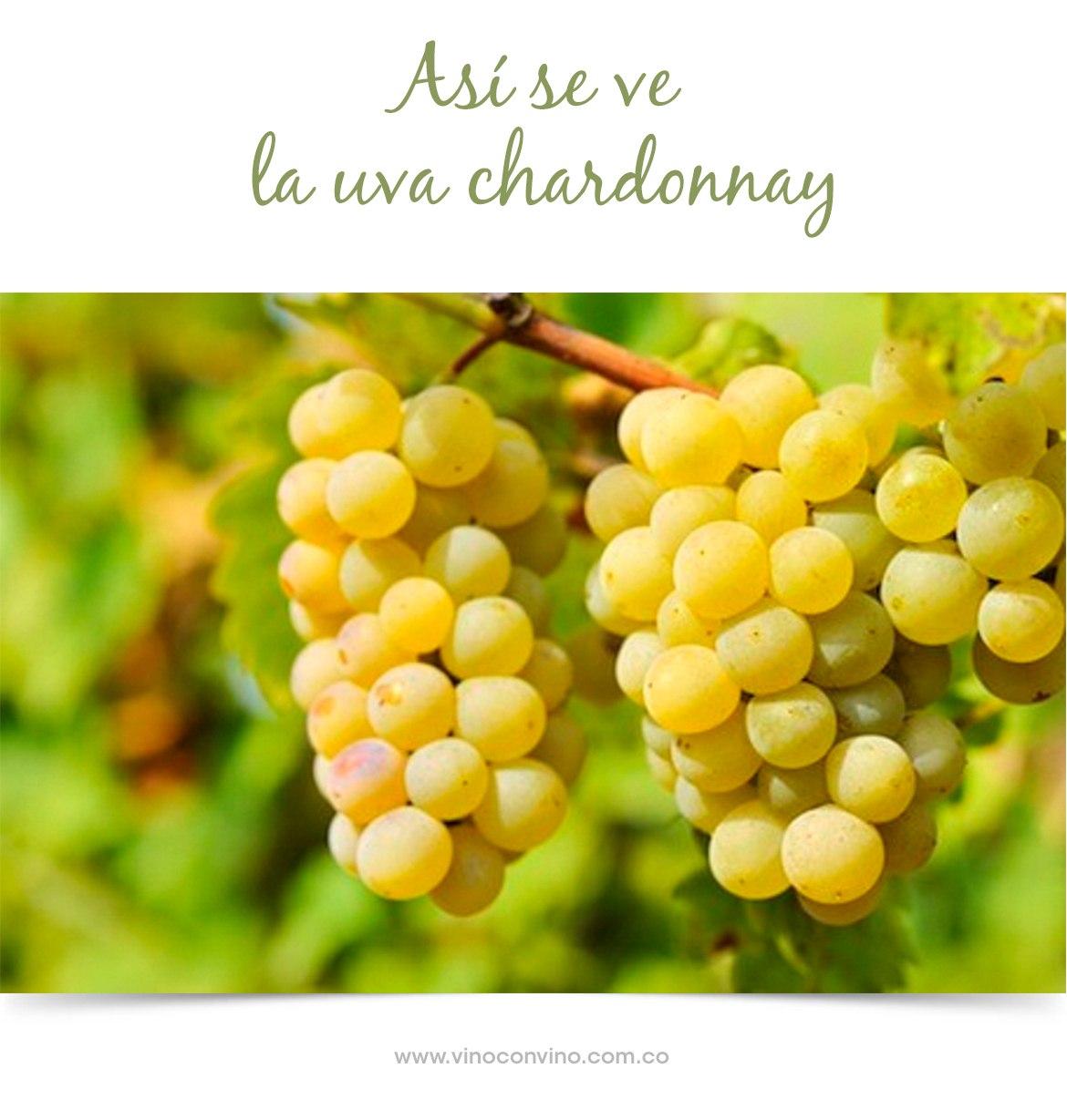 Así son las uvas de un Chardonnay